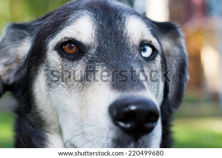 Dog with one brown eye and one blue eye.