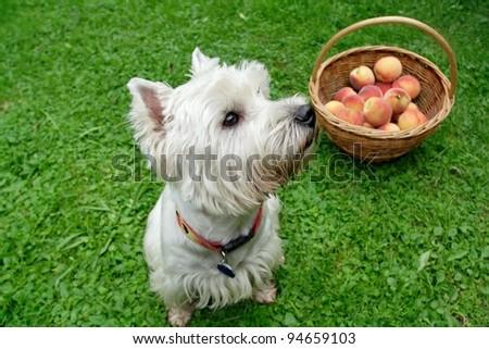 dog with peach - stock photo