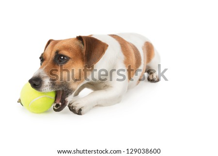 Dog with pleasure is chewing yellow tennis ball. Jack Russel terrier puppy is playing with toy on white. Studio shot - stock photo