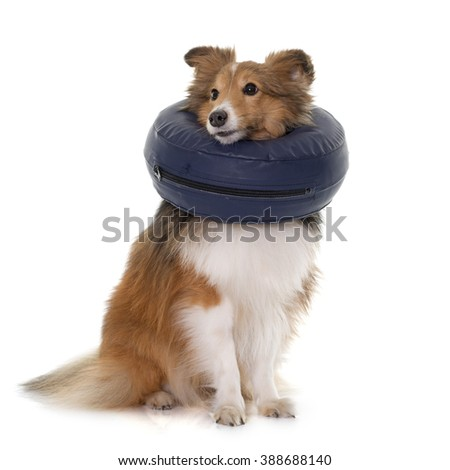 dog with protective collar in front of white background - stock photo