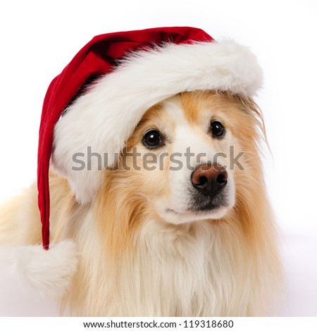 Dog with red and white  Santa hat