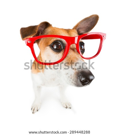 Dog with red glasses kinda looks closely - stock photo