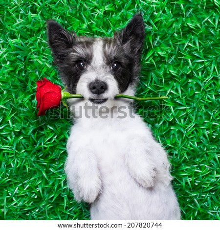 dog with rose in mouth, while lying on grass  in a park looking pretty cute