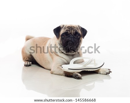 Dog with sandals on its paw , showing good obedience  - stock photo
