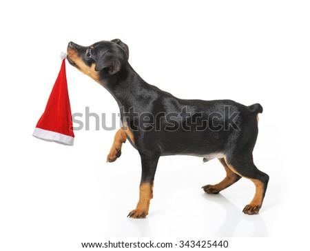 Dog with Santa hat isolated - stock photo