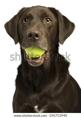 Dog with tennis ball isolated on white background. - stock photo