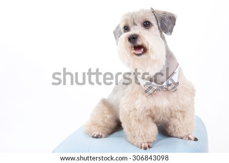 dog with tie collar,terrier dog,cute dog, sweet eyes,smiling face