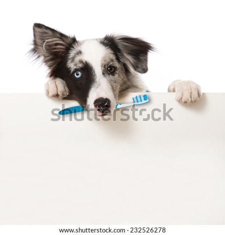 Dog with toothbrush - stock photo