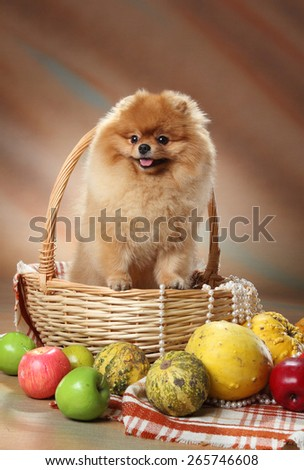 dog with toys. Pomeranian spitz in a basket. red furry coat. loyal dog look. Awards dog exhibitions - stock photo