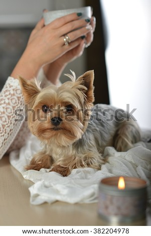 Dog York sits on the table. Nearby stands a candle.