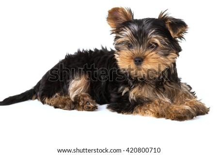 Dog Yorkshire terrier lying isolated on white background - stock photo