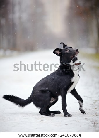 Doggie on walk. Black Dog on snow.  Not purebred dog. The large not purebred mongrel. - stock photo