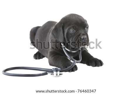doggy with a stethoscope on his neck, isolated on white - stock photo