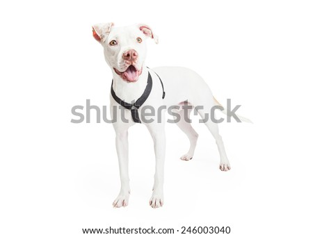 Dogo Argentino Dog standing while looking off to the side.  - stock photo