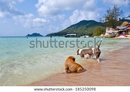 Dogs are playing on beach, Koh Tao, Thailand - stock photo