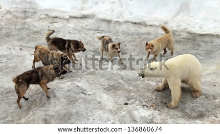 Dogs attacking polar bear - stock photo