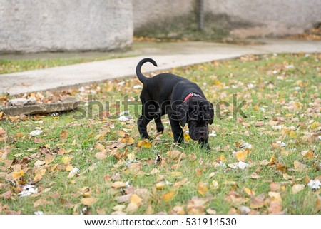Dogs breed Neapolitana mastino a walk in the autumn park.