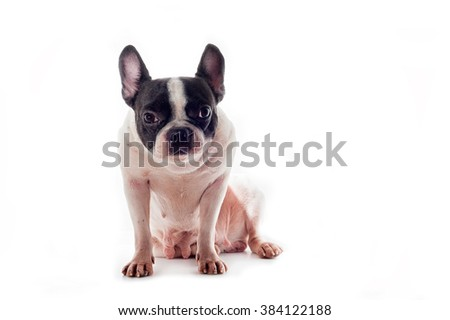 Dogs French Bulldogs
