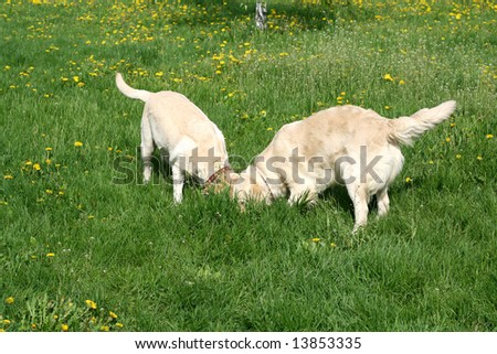 Dogs, golden retrievers on a green lawn