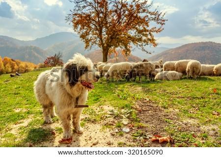 Dogs guard the sheep on the mountain pasture-Transylvania,Romania - stock photo