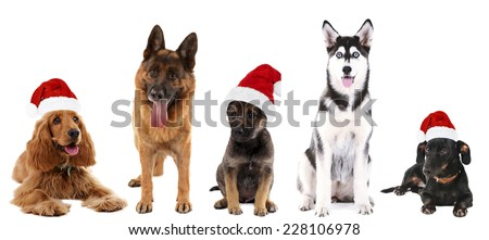 Dogs in Santa Claus hat isolated on white - stock photo