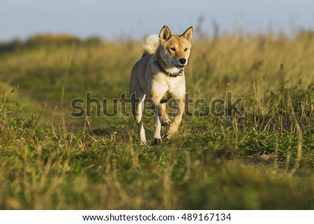 Dogs Japanese breeds Sibu Inu on a background of grass, sunlight