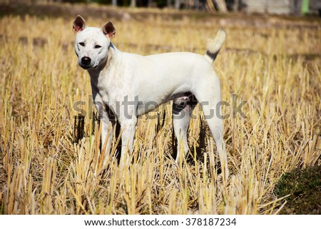 Dogs Life in rice fields - stock photo
