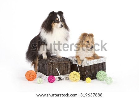 Dogs of breed of Shetland Sheepdog on a white background near a brown chest in which the red dog sits around multi-colored spheres are scattered. - stock photo