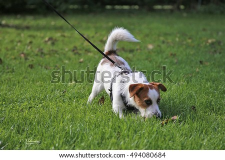 Dogs of breed the Jack Russell Terrier plays on a green grass.
