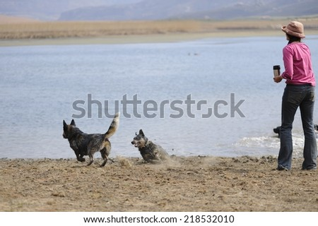 Dogs playing. Australian cattle dogs compete for a rubber toy during a training session , Underberg, Kwazulu Natal, South Africa