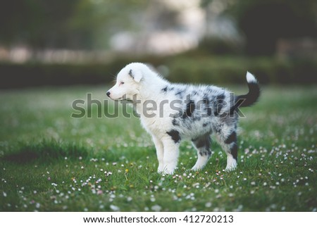 Dogs Playing - border collie