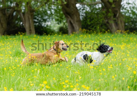 Dogs playing in a summer meadow - stock photo