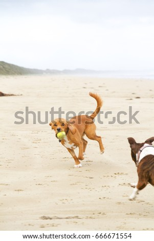 Dogs playing on a beach, Australia