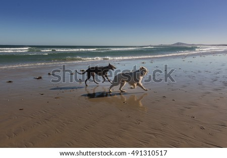 Dogs playing on the beach, Cape Town, South Africa