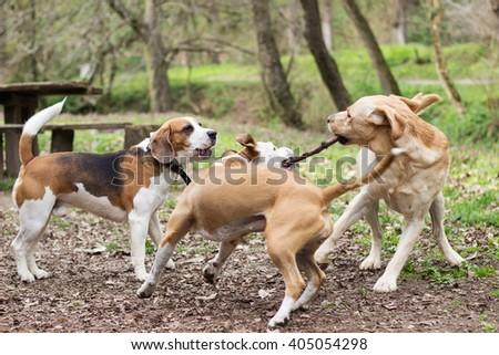 Dogs playing tug  - stock photo