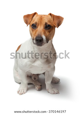 Dogs puppy isolated on white background. Jack Russell Terrier