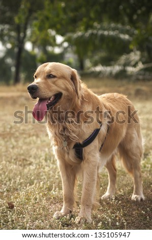 Dogs series : Golden retriever close up