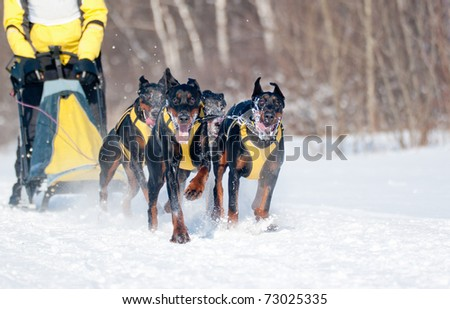 Dogsled Competition - Dobermans Team, focus on the first dog - stock photo
