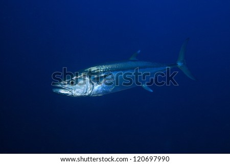 Dogtooth tuna in the open water of the ocean