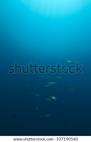 Dogtooth tuna in the Red Sea. - stock photo
