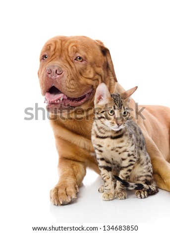 Dogue de Bordeaux (French mastiff) and leopard cat (Prionailurus bengalensis). looking away. isolated on white background