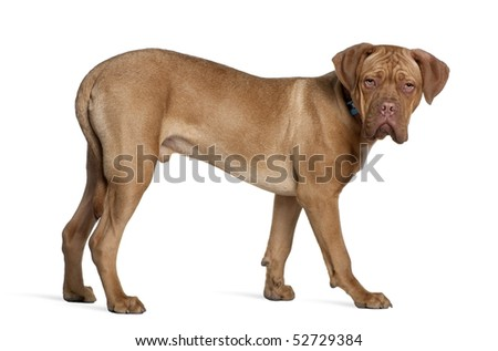 Dogue de Bordeaux, 6 months old, standing in front of white background