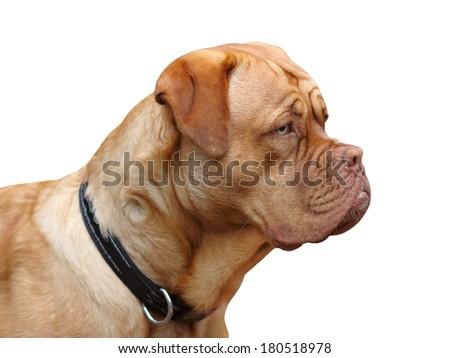 dogue de bordeaux on white background  - stock photo