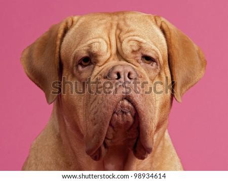 Dogue De Bordeaux portrait against pink background - stock photo