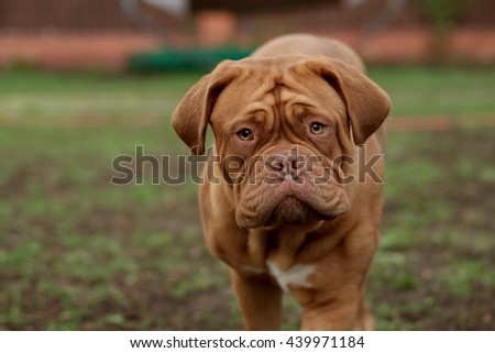 dogue de bordeaux portrait close up details of face - stock photo