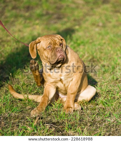 Dogue de bordeaux puppy is scratching behind his ear - stock photo