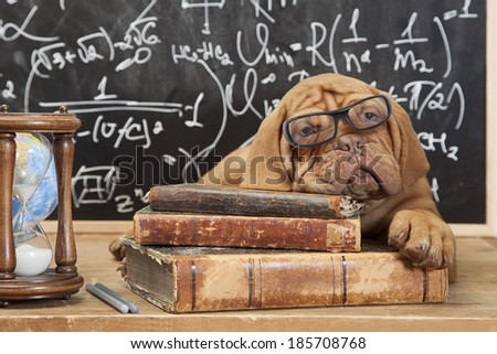 Dogue de Bordeaux Puppy  lying on Pile of Books  - stock photo