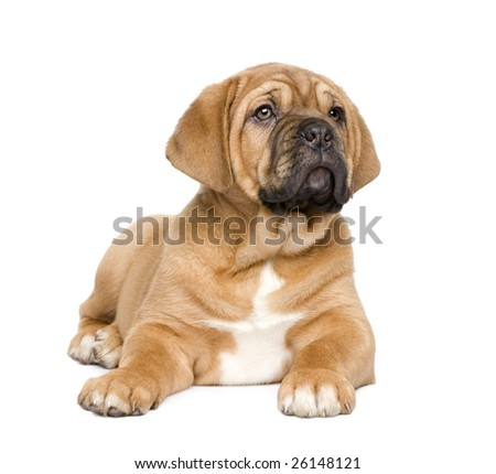 Dogue de Bordeaux puppy (2 months) in front of a white background