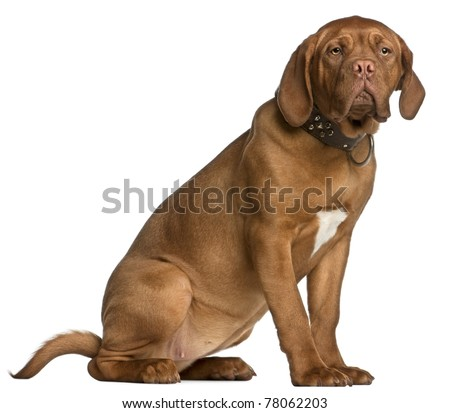 Dogue de Bordeaux puppy, 6 months old, sitting in front of white background - stock photo