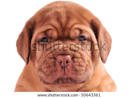 Dogue De Bordeaux puppy portrait looking at camera - stock photo